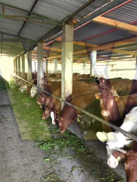Slavonski Brod Farma za tov 200 bikova + 100 ha zemlje u dugoročni najam